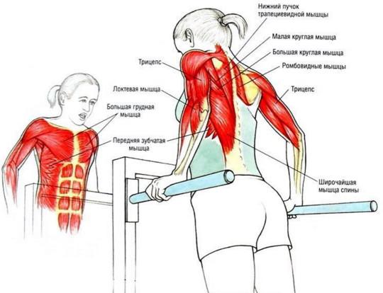Отжимания на брусьях какие мускулы задействованы