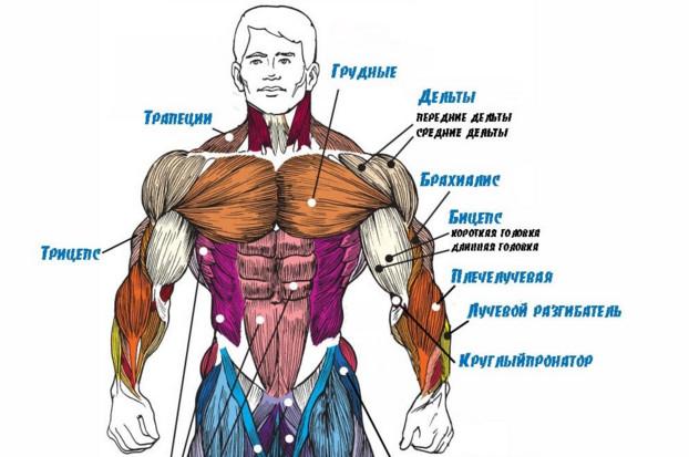 трицепс мышцы