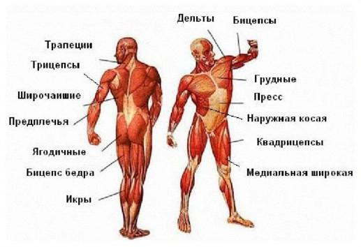 группы мышц в бодибилдинге