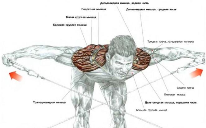 основные группы мышц в бодибилдинге