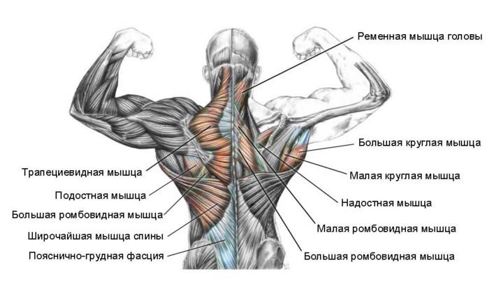Мускулатура спины