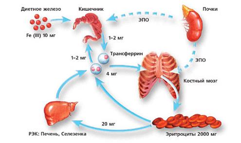 Синтез железа в организме